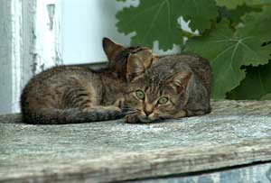 Feral cats living outdoors having reverted to instinctive wild behaviour to survive