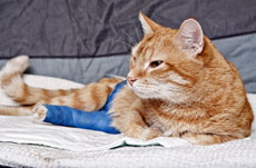 Ginger-cat-broken-leg