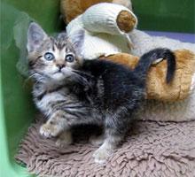 Tomasina the tiny tabby kitten
