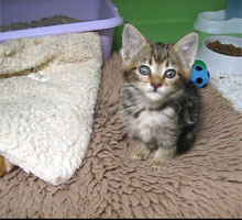 Tomasina a few days after arriving with us - cute as a button!