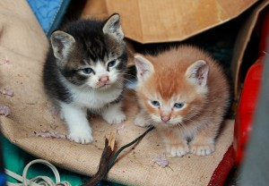 Two feral kittens: Feral cats & strays often arrive poorly due to under-nourishment
