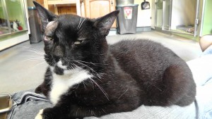 Phantom is a gorgeous friendly boy who loves sitting on your lap getting stroked