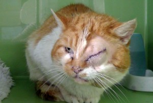 Injured feral tom had been shot in the head twice, resulting in one eye having to be removed